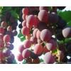 葡萄籽提取 高纯度原花青素 葡萄籽多酚 低聚果糖就找浩翔