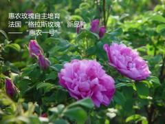 生产精油厂家-济南惠农玫瑰精油-