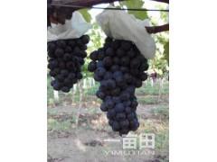 陜西戶太葡萄產地價格\戶太葡萄銷售價格\戶太葡萄價格行情