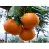 四川柑橘苗价格,四川柑橘苗批发,四川柑橘苗特点