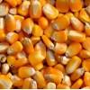 大量求购:玉米小麦次粉麸皮高粱DDGS等各种饲料原料