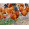 泸州土鸡市场眉山土鸡养殖绵阳土鸡信息