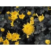 鹰潭药用千层白、杭白菊、大阳菊作用