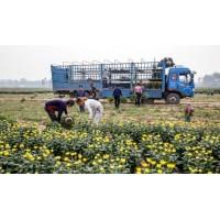 芜湖大阳菊、药用千层白、祁白菊种类