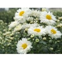 乌海茶菊,药用千层白,干菊花供应商